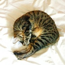 猫, 眠っている, かわいい, 家畜化された, 休憩