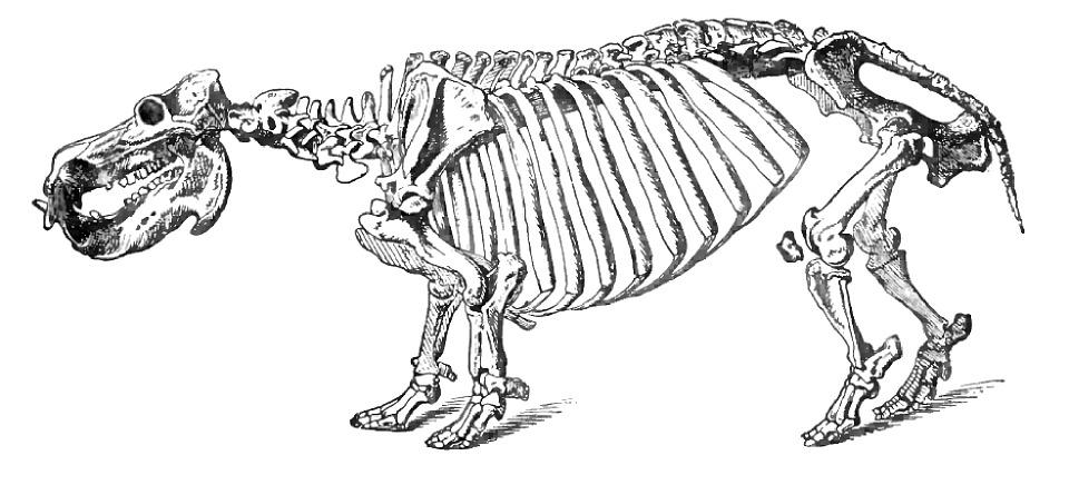 tiger skull diagram