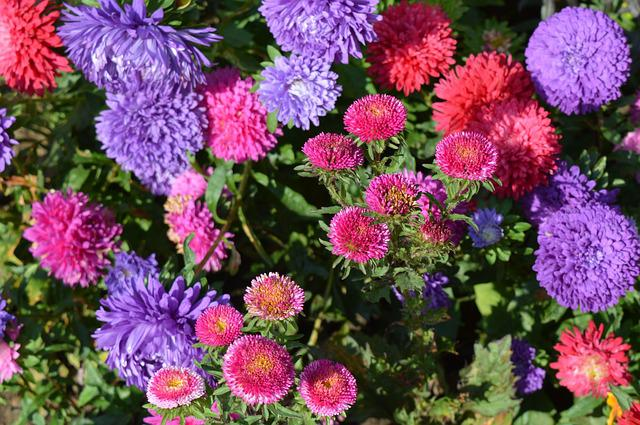 Asters Flowers Astra  Free photo on Pixabay