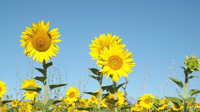 Fall Sunflowers Wallpaper Summer Sunflowers Field 183 Free Photo On Pixabay