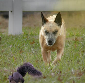 Dog, Squirrels, Fence, Light, Grass