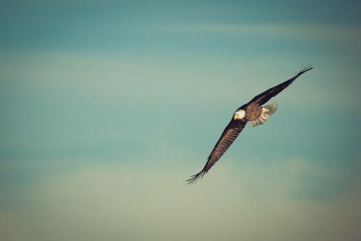Eagle, Aquila In Volo, Librarsi, Uccello, Natura, Calvo