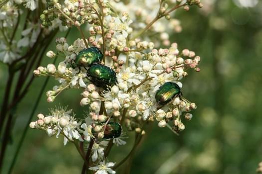 Natura, Bush, Pianta, Aurata, Insetto, Bug