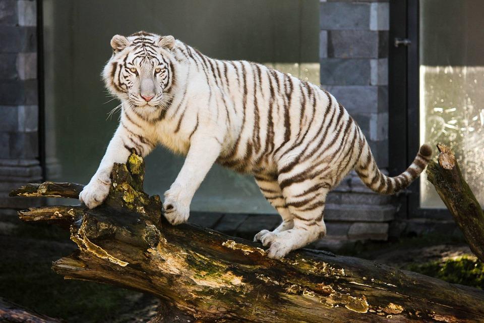 Blue Wallpaper Hd Download White Tiger Animal Feline 183 Free Photo On Pixabay