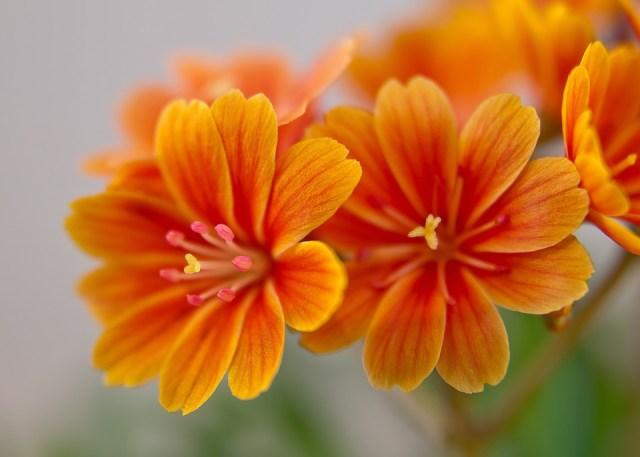 Lewisia, Bitterwurz, Flor, Naranja, Brillante, Amarillo