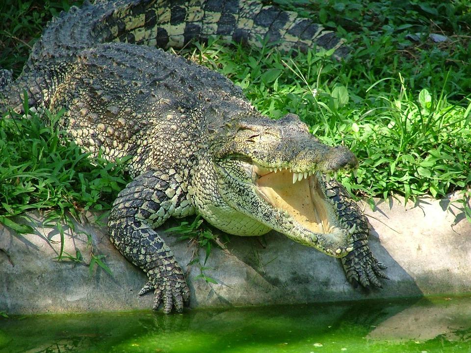 Buaya Hewan Reptil  Foto gratis di Pixabay