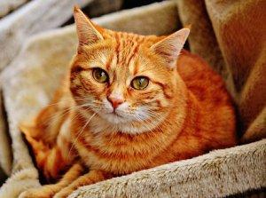猫, 二日酔い, 赤, かわいい, サバ, タイガー, 甘い, 動物, 国内の猫