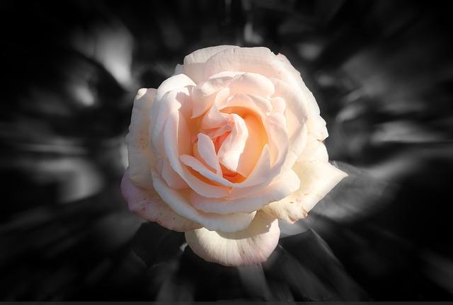 Rose Flor Rosa Fundo  Foto gratuita no Pixabay