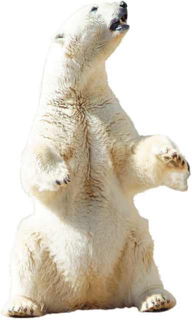 Cute Wallpapers White Background Free Photo Polar Bear Polar Bear Animal Free Image