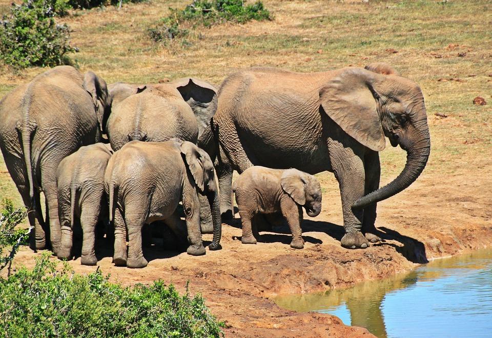象, 動物, 象の群れ, 象の家族, アフリカ, 南アフリカ, アフリカのブッシュゾウ, テング, 厚皮動物