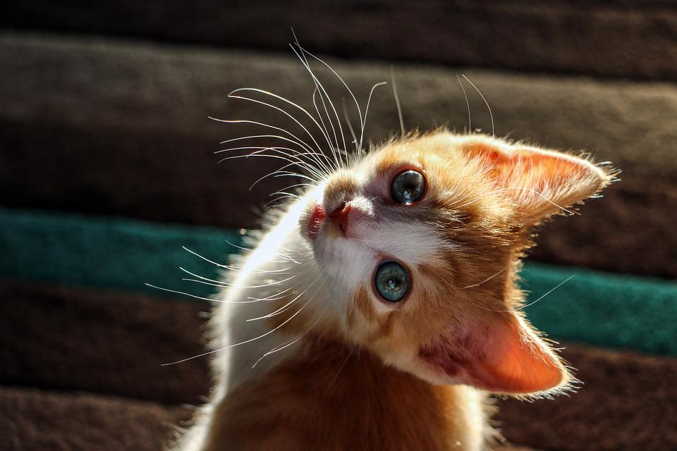 Kitten Cat Cute  Free photo on Pixabay