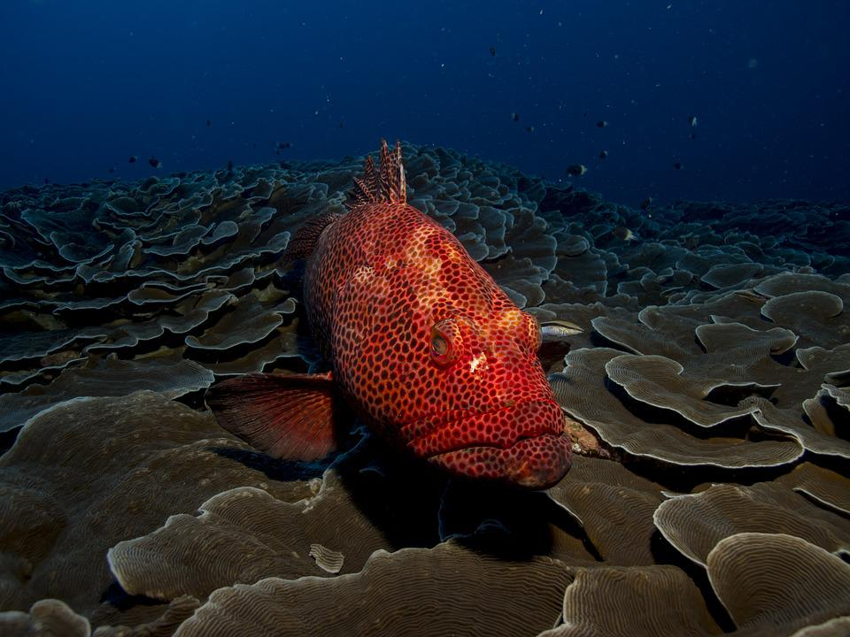 Cute Medical Wallpaper Free Photo Fish Grouper Red Sea Water Free Image On