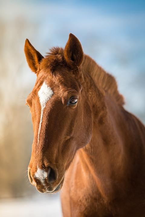 Kostenloses Foto Tier Nutztier Pferd Fuchs Braun