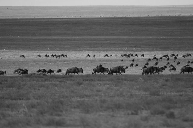 Wildebeest, Migración, Llegada, África