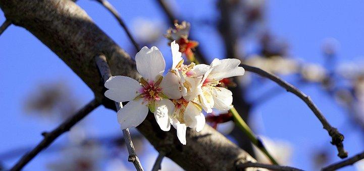 Fleur D'Amande, Floraison, Printemps