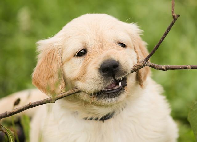 Cruzeiro do sul educacional offers vocational distance vocational courses. Free photo: Puppy, Golden Retriever, Dog, Pet - Free Image