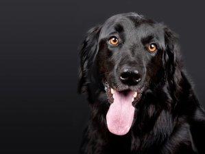 犬, ペット, ホファヴァルト, 黒, 黒の背景, 犬の頭