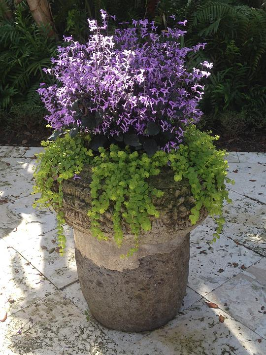 Free Photo Container Garden, Creeping Jenny  Free Image