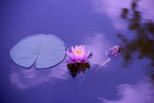ロータス, 花, ユリのパッド, 池, 水生植物, 蓮の花, ブルーム, 植物