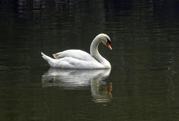 Swan, Bird, Water, Pond, Waterfowl, Zoo, Kolkata, India