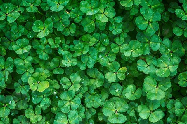 Trébol, Planta, Verde, Vegetación, De Fondo, Verdor