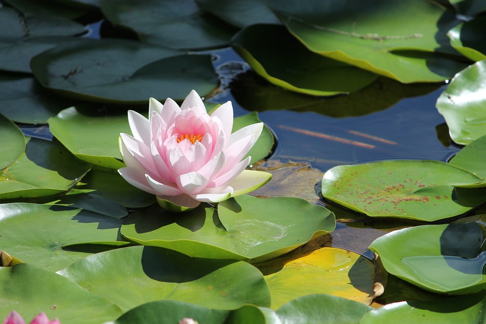 water lilly flower free