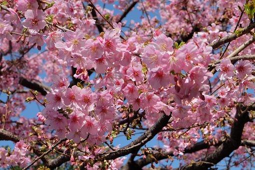 Sakura, Cherry Blossom, Tokyo, Japonez