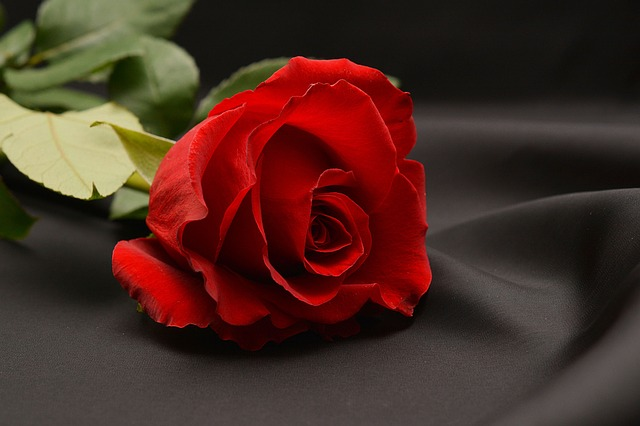 Free photo Rose Red Red Rose Flower  Free Image on