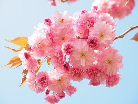 Fleur De Cerisier, Japanese Cherry