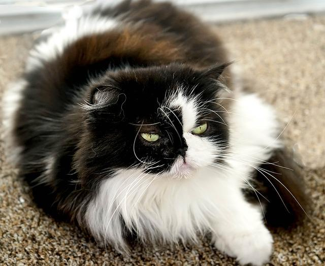 Wallpaper Hd Portrait Orientation Free Photo Himalayan Persian Black White Free Image