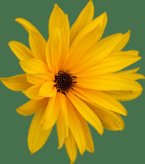 Marguerite Png Flower  Free photo on Pixabay