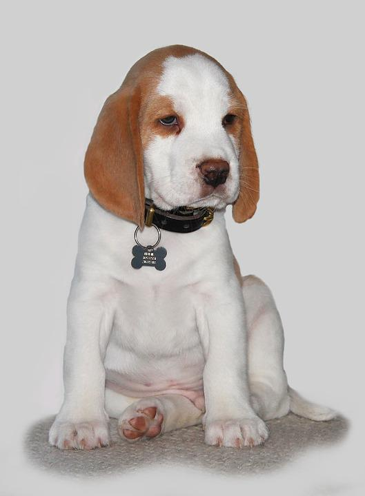 Cute Wallpapers 1080p Beagles Free Photo Dog Puppy Pets Expensive Sweet Free