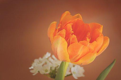 Tulip Flower Blossom Bloom Orange Petals O