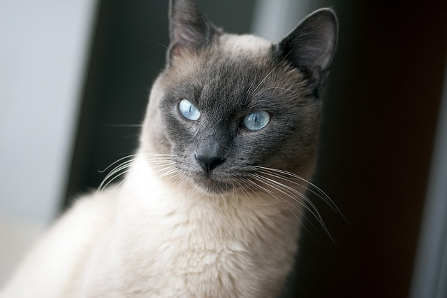Animal Wallpaper Thai Cat Blue Eyes 183 Free Photo On Pixabay