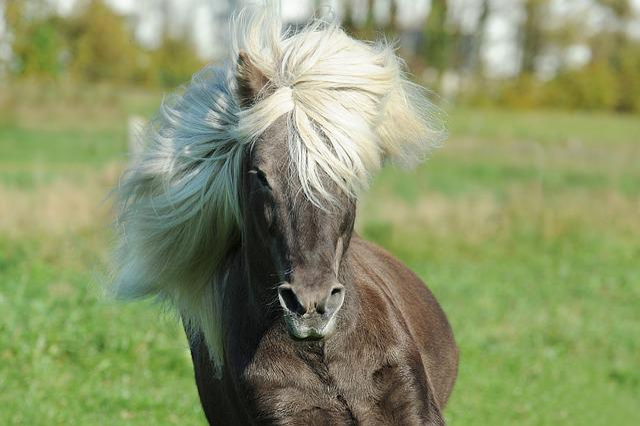 Fox Animal Wallpaper Horse Icelanders Iceland 183 Free Photo On Pixabay