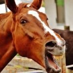 Horse Funny Laugh Free Photo On Pixabay