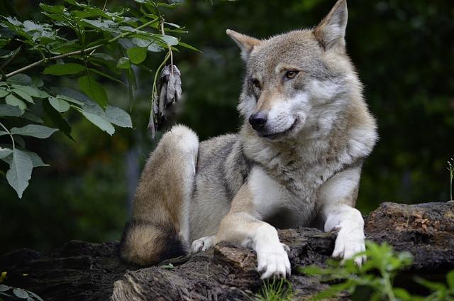 Free photo Wolf Isegrim Predator Carnivores  Free Image on Pixabay  1336231