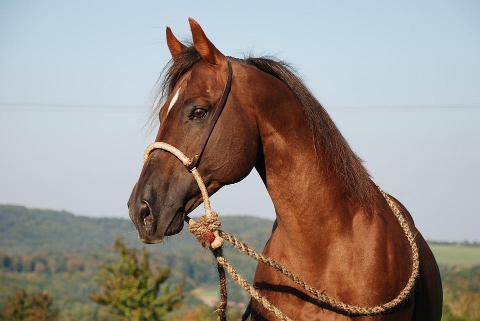 Horse Stallion Deckhengst Free Photo On Pixabay