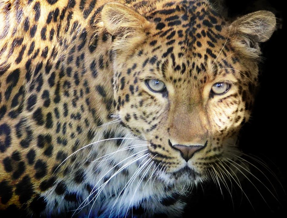 Cat Wallpaper Hd Leopard Raubtier Augen 183 Kostenloses Foto Auf Pixabay