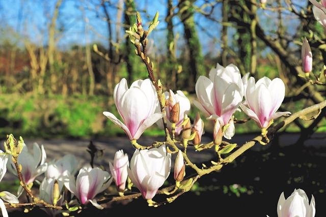 Kostenloses Foto Magnolie Blten Frhling Baum  Kostenloses Bild auf Pixabay  1344442