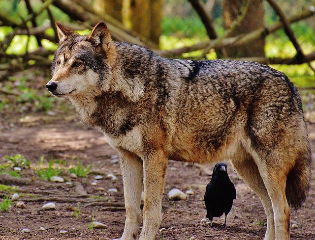 Animal Crossing Wild World Wallpaper Free Photo Wolf Wild Animal Predator Nature Free