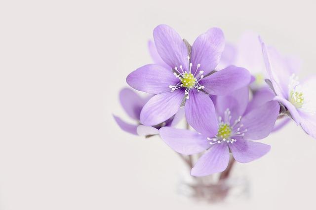 Pretty Wallpapers Rose Quotes Free Photo Flowers Tender Petals Hepatica Free Image