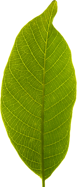 Leaf Transparent Background Free photo on Pixabay