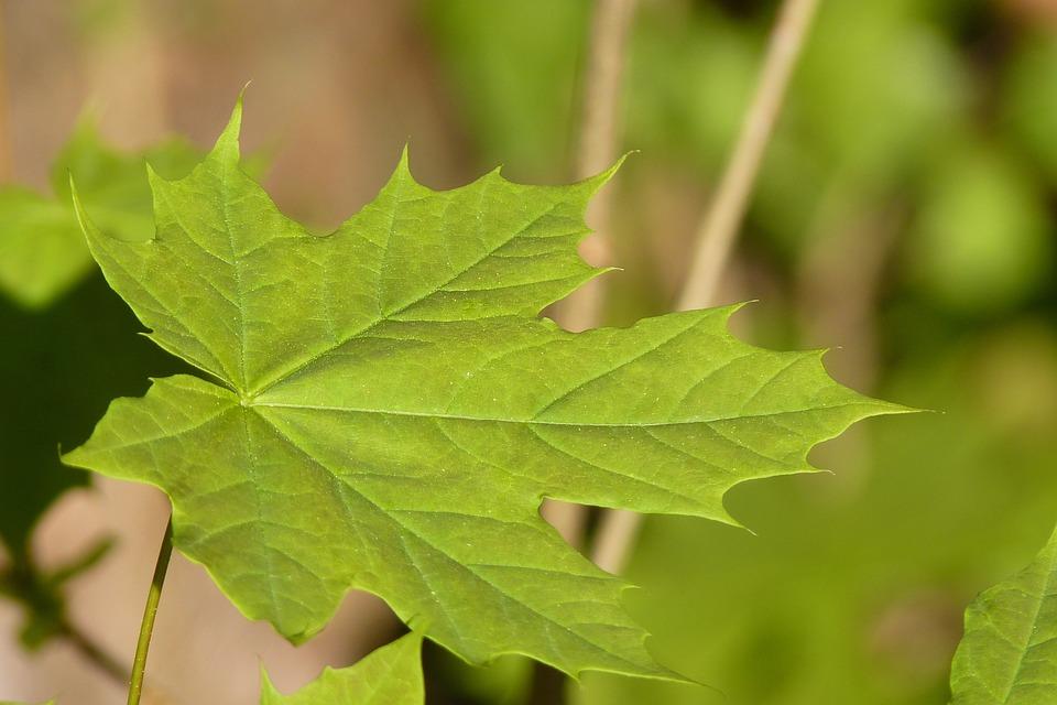 Kostenloses Foto Ahorn Blatt Baum Frhling