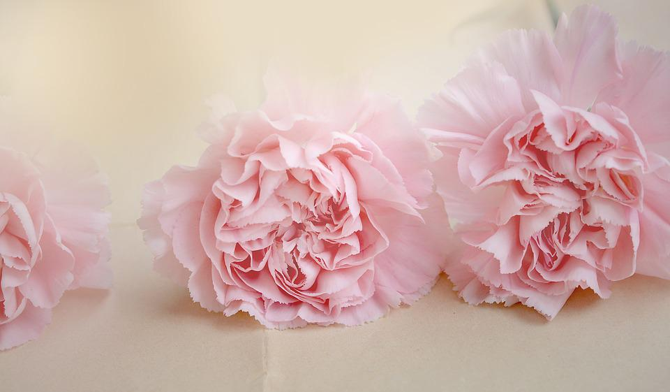 Nelken Blumen Rosa  Kostenloses Foto auf Pixabay