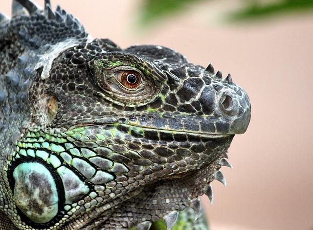 Dragon Wallpaper Hd Kostenloses Foto Leguan Echse Reptil Tier Drache