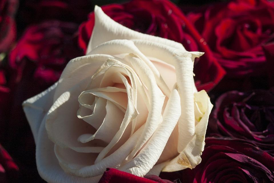 Kostenloses Foto Rose Weie Rose Wei Rot Liebe
