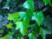 Ivy, Lierre, Vert, Clôture, Otsu