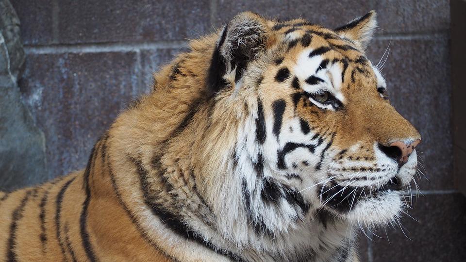 Tiger Animal Wallpaper Tiger Face Portrait 183 Free Photo On Pixabay