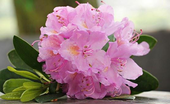 Azalée, Fleur, Fleurs, Plantes, Lumineux